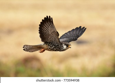 Amur Falcon  This female Falcon breeds in Siberia and China and winters in tropical countries like Thailand in which local and international bird of prey lovers await for its coming.