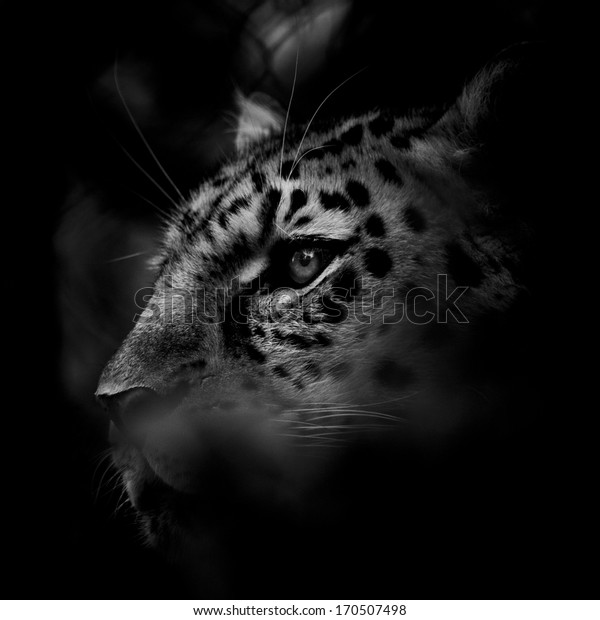 Amur Leopard in Black and White