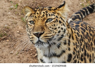Amur leopard close up. A head and shoulders view of this magnificent creature.