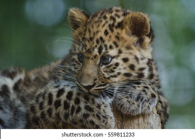 An Amur Leopard Cub lounges in a tree