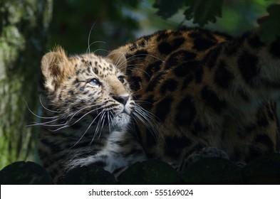 An Amur leopard cub in the sunlight