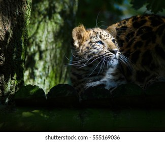 An Amur leopard cub in the sunlight