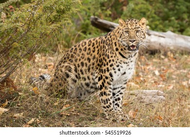 amur leopard looking into camera with forest in background