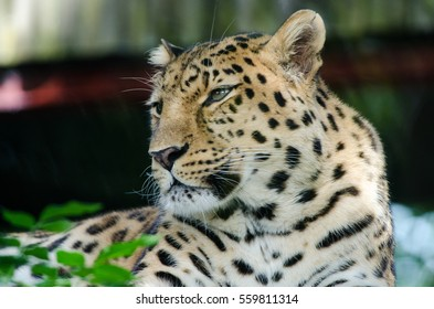 An Amur Leopard lounges in a tree