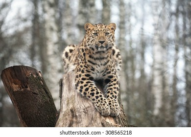 amur leopard in open-air cage