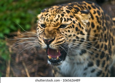 Amur leopard (Panthera pardus orientalis), a leopard subspecies native to the Primorye region of southeastern Russia and the Jilin Province of northeast China