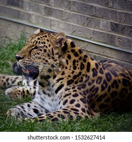 Amur leopard or panthera pardus orientalis laying against a brick wall in the grass on a sunny day. Spotted cat resting and breathing heavily. Full body profile and portrait
