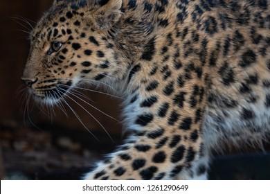 An amur leopard patrols