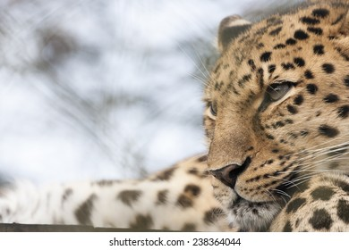 The Amur leopard is probably the most endangered big cat in the world, with as few as 45 adults left in the Wild