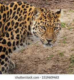 Amur leopard in profile. A broadside view of the head and shoulders of a magnificent amur leopard.