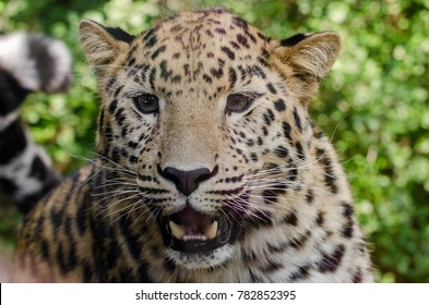 Amur leopard prowling in the undergrowth