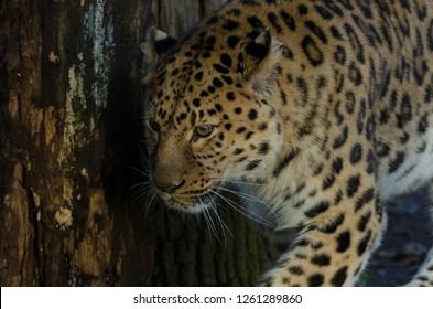 An amur leopard prowls
