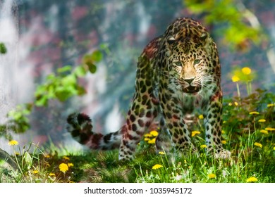 amur leopard rarest cat