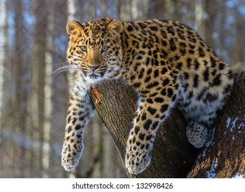 Amur leopard resting on the branch