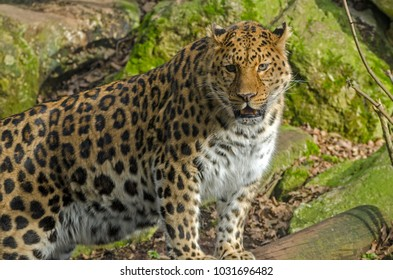 An Amur Leopard stalks around its territory in the sunlight