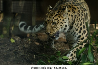 An Amur Leopard stalks its territory
