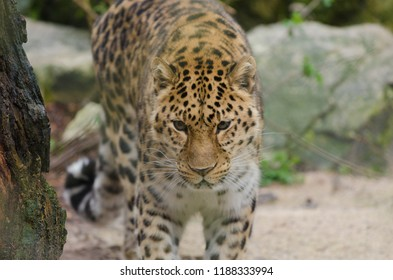 An amur leopard stalks within the treeline