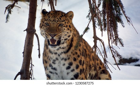 Amur leopard is a leopard subspecies native to the Primorye region of southeastern Russia and the Jilin Province of northeast China.