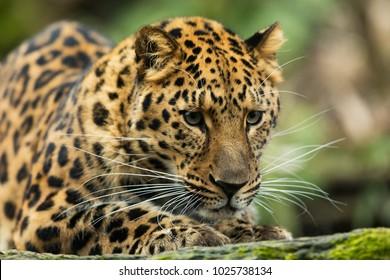 Amur leopard very close up in detail
