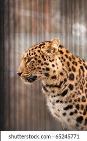 Amur or Manchurian leopard - one of the rarest felids in the world