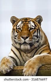 Amur or Siberian Tiger (Panthera tigris altaica)