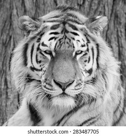 Amur Tiger black and white, Panthera tigris ataica