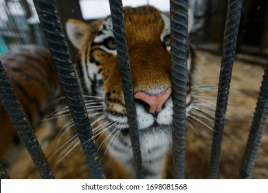 Amur tiger in captivity. A large beautiful Amur tiger walks along the cage and growls.