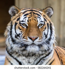 Amur tiger frontal portrait