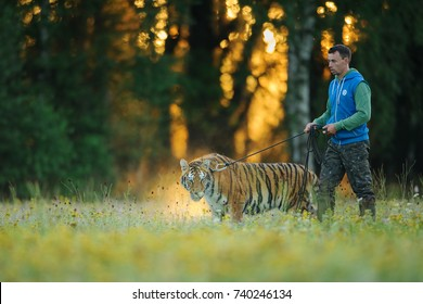 Amur tiger in human care on a leash with breeder