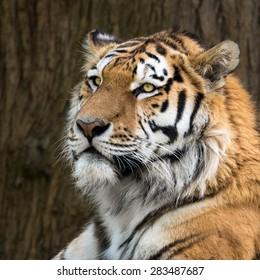 Amur Tiger, Panthera tigris ataica