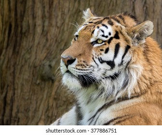 Amur Tiger, Panthera tigris ataxic. Profile head shot with brown bark in background.