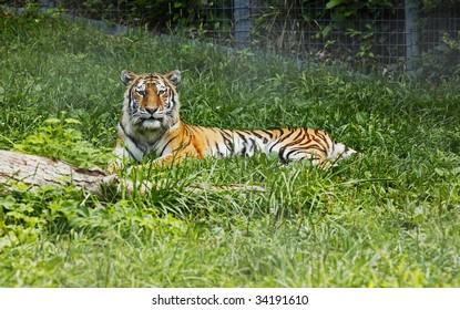 Amur Tiger posing for the camera.