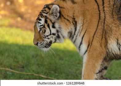 An amur tiger prowls