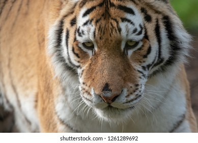 An amur tiger prowls its territory