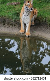 Amur Tiger with its reflections in water