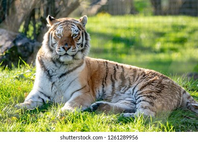 An Amur tiger at rest in its territory