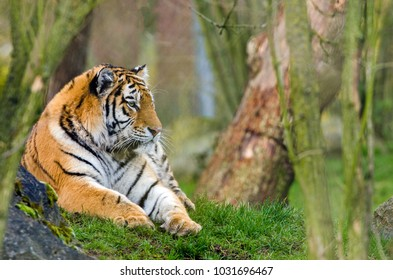 An Amur Tiger rests and surveys its territory