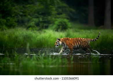 Amur tiger in the river. Action wildlife scene with danger animal. Siberian tiger, Panthera tigris altaica