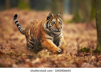 Amur tiger running in the forest. Action wildlife scene with danger animal. Siberian tiger, Panthera tigris altaica