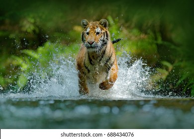 Amur tiger running in the river. Animal in forest stream. Siberian tiger splashing water. Wild cat in nature habitat.