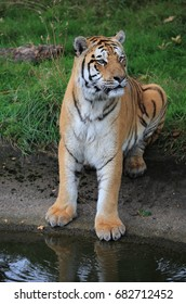 Amur Tiger sitting by water
