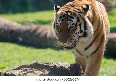 An Amur Tiger stalks its territory