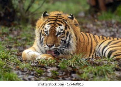 Amur Tiger in the summer