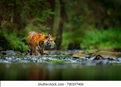 Amur tiger walking in the river. Dangerous animal, tajga, Russia. Animal in the green forest stream.