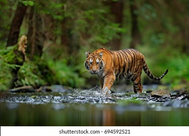 Amur tiger walking in the water. Dangerous animal, taiga, Russia. Animal in green forest stream. Grey stone, river droplet. Wild cat in nature habitat. - Shutterstock ID 694592521