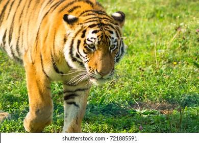 The Amur tiger walks through his domain
