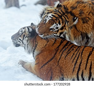 Amur Tiger in the woods in winter