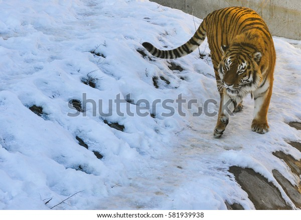 amur tiger in zoo