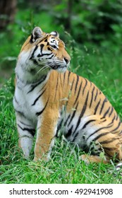 Amur Tigers on a grass in summer day