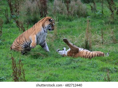 Amur Tigers playing rough